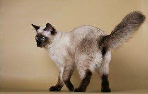 сиамская кошка рис 8