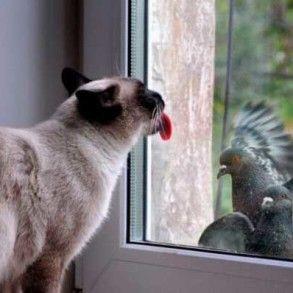 сиамская кошка у окна