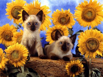 сиамские котята в подсолнухах