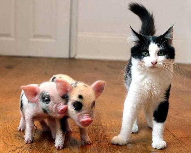 Кот и свинки