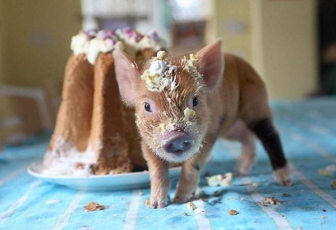 Свинка в тортике