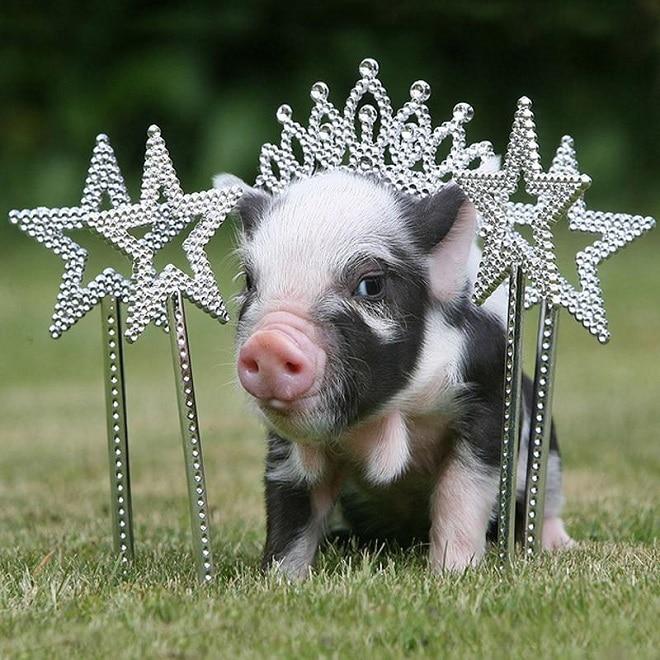 Свинка с короной