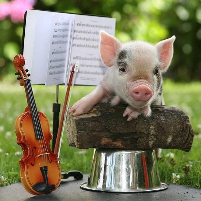 Свинка и скрипка