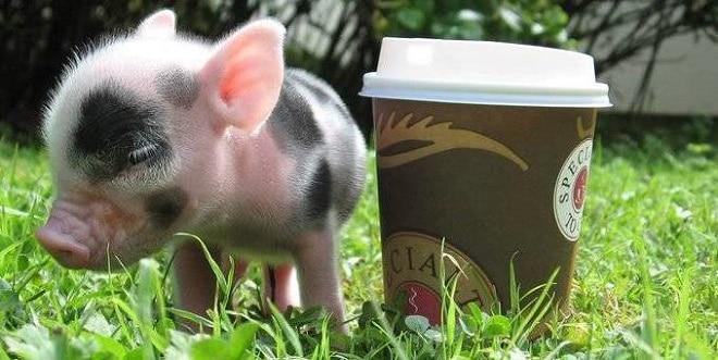 Свинка и кофе