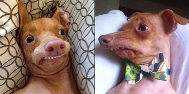 Собака с неправильной челюстью