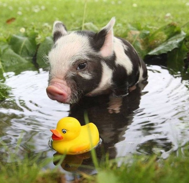 Свинка в луже