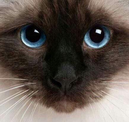 сиамская кошка рис 7