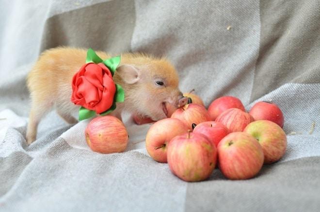 Свинка и яблоки