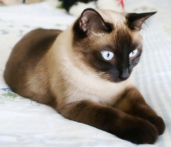 сиамская кошка рис 4