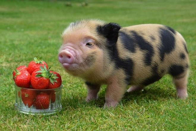 Свинка на траве