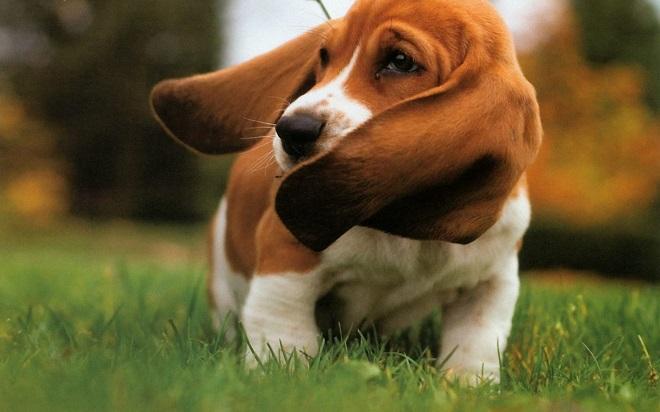 Собака с длинными ушами