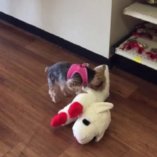 Собака берет игрушку