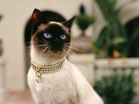 сиамская кошка рис 5