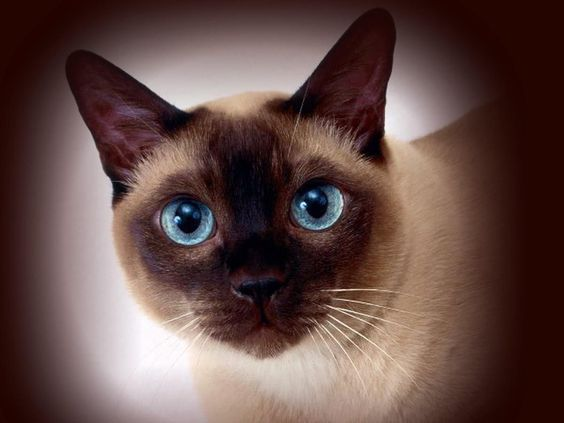 сиамская кошка рис 2