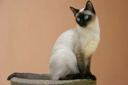 сиамская кошка рис 3