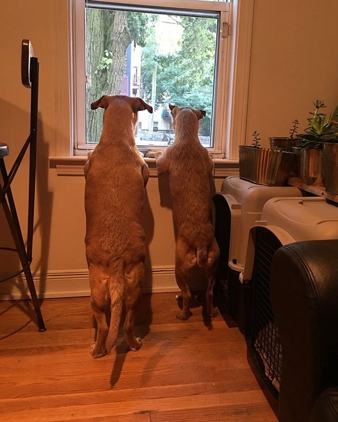 Собаки у окна