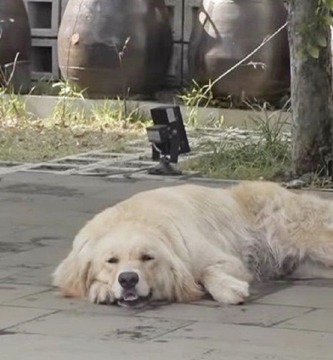 Собака лежит