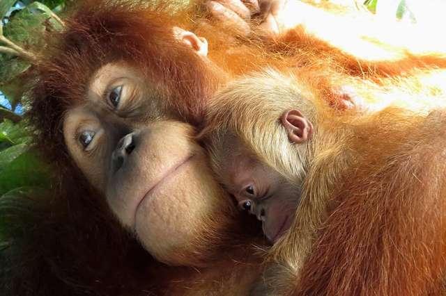 орангутанг со своим детенышем