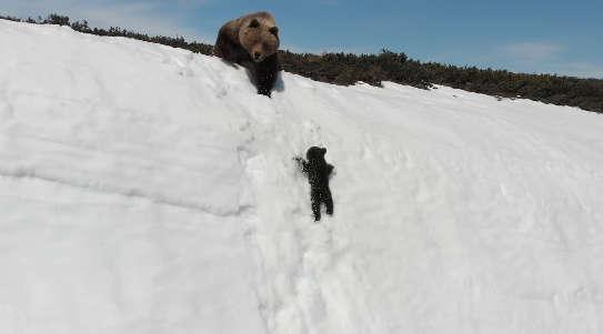 медвежонок карабкается по склону