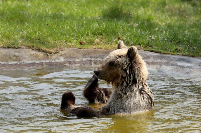медведица в воде