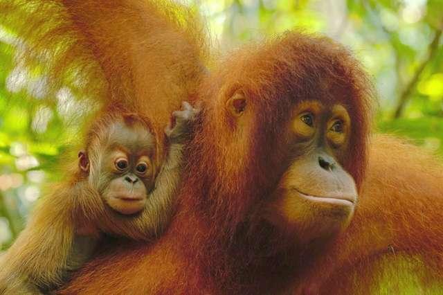 маленький орангутанг с мамой