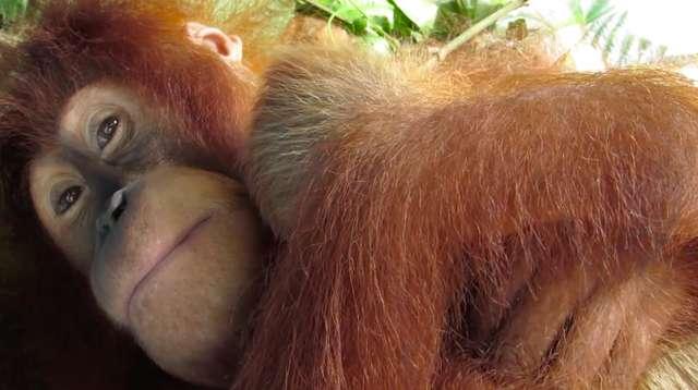 орангутанг с мамой