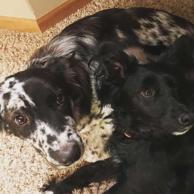 две собаки лежат рядом
