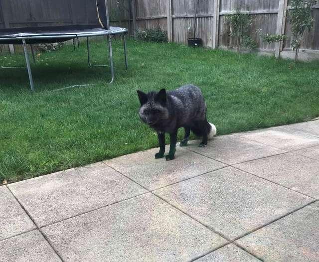 лиса во дворе