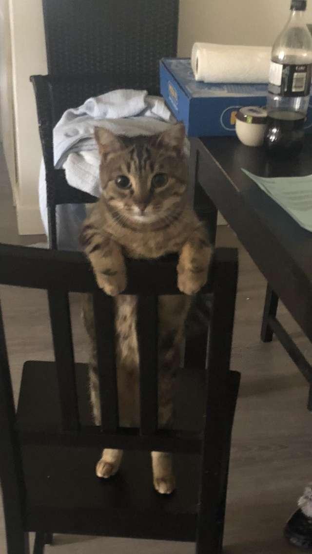 кошка стоит на стуле
