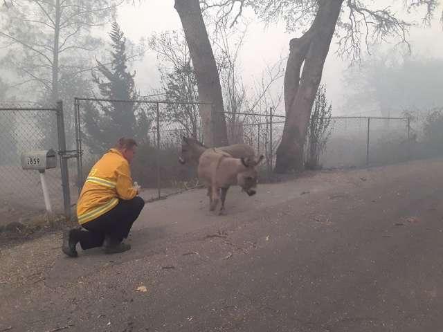 пожарный помогает ослам