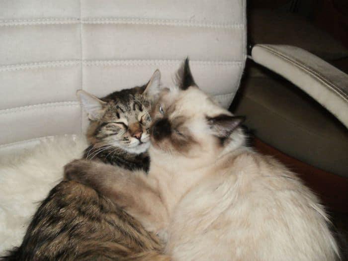 коты лежат в обнимку