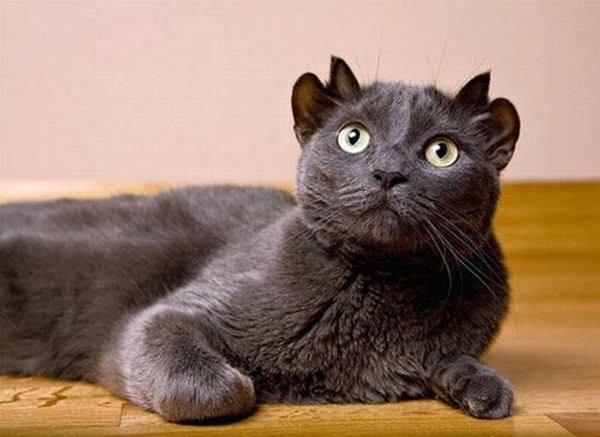 кот с четырьмя ушами рис 2