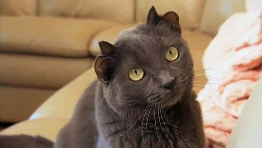 кот с четырьмя ушами рис 3