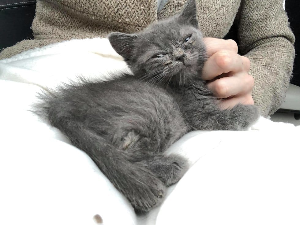 серый котенок рис 4