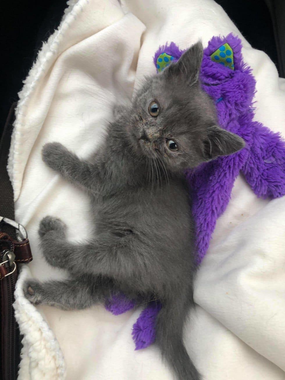 серый котенок рис 5