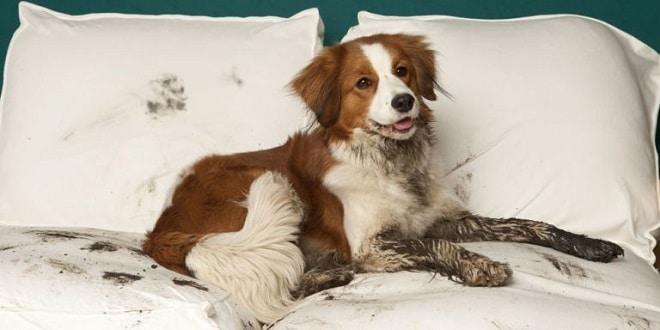 Собака на белых подушках