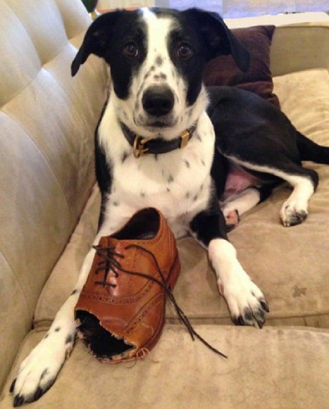 Собака и туфля
