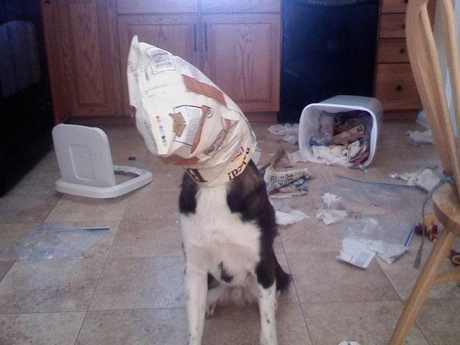 Собака с пакетом на голове