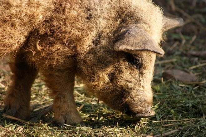 Свинка стоит