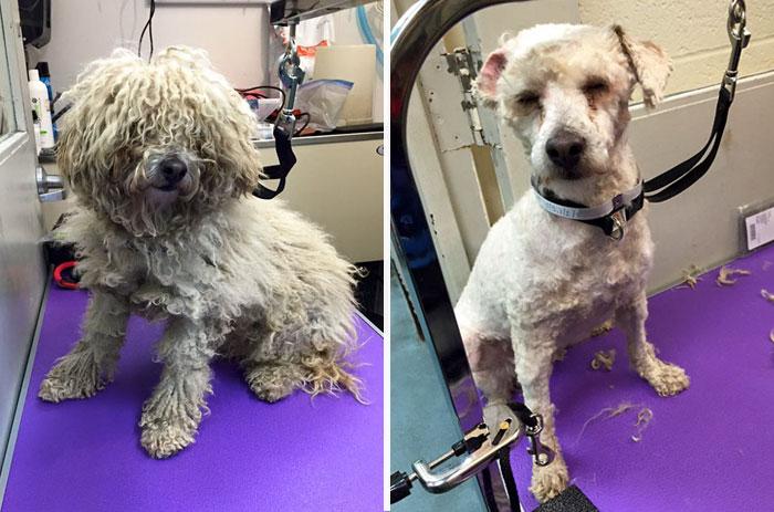 собака до и после стрижки рис 3