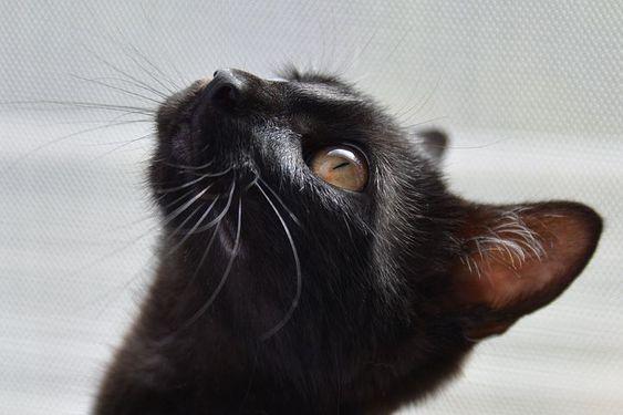 черная кошка рис 2
