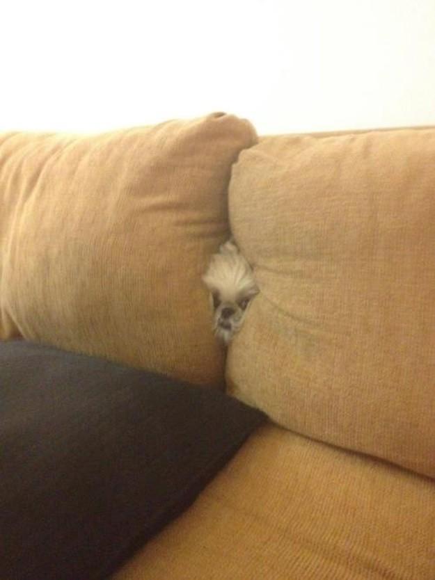 собака застряла в диване