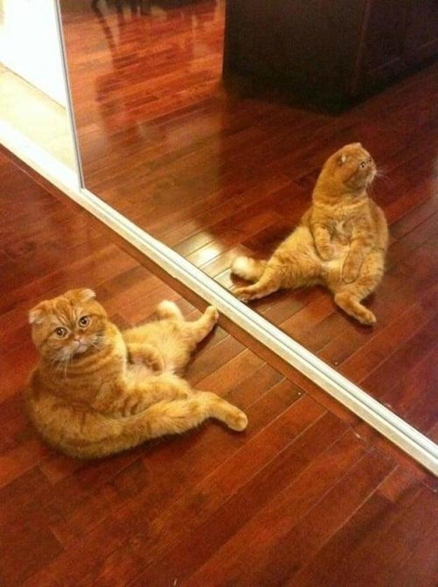 кот перед зеркалом