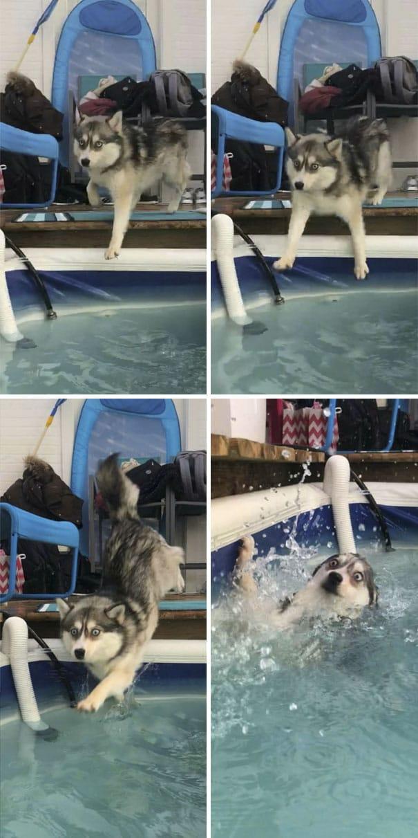 хаски упала в бассейн
