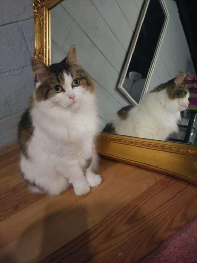 Кошка сидит у зеркала
