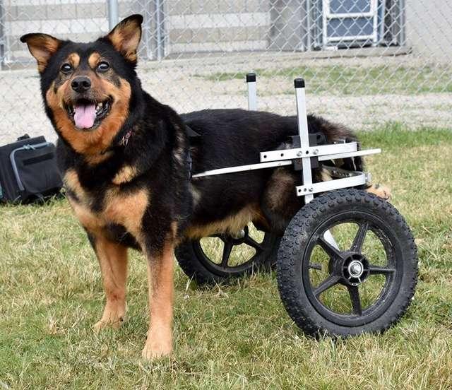 пес на инвалидной коляске рис 2