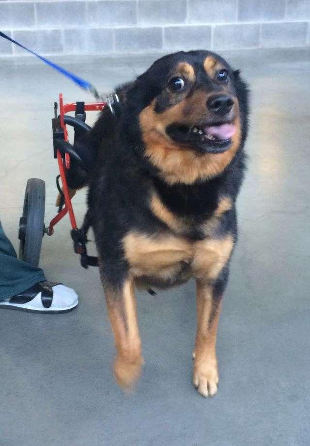 пес на инвалидной коляске