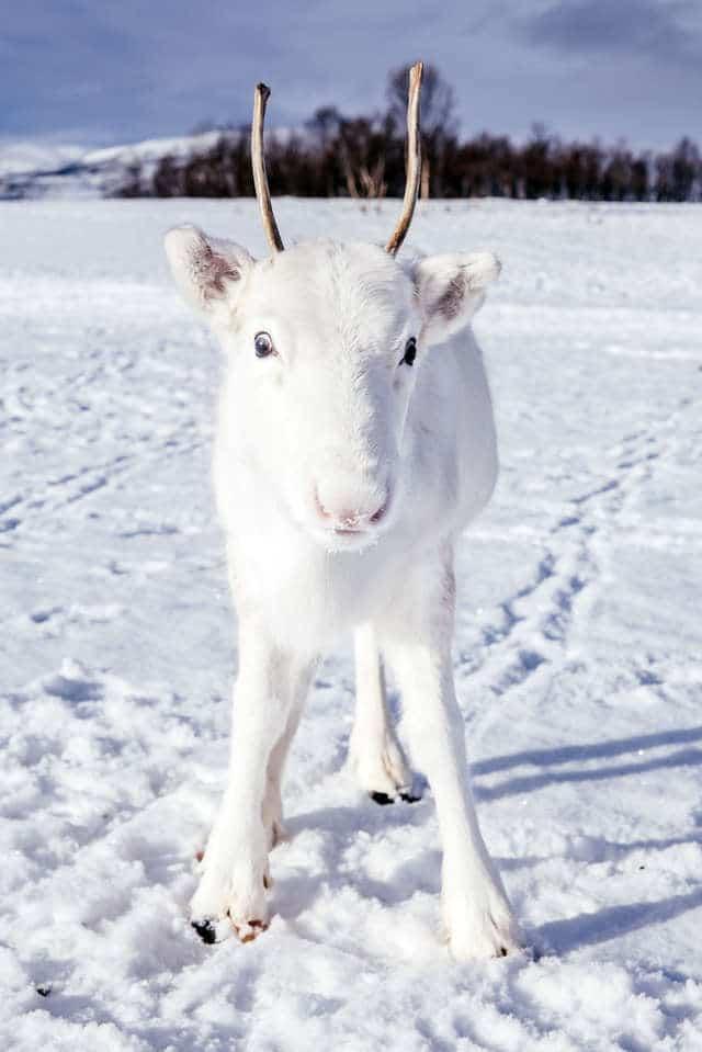 белый олень рис 3