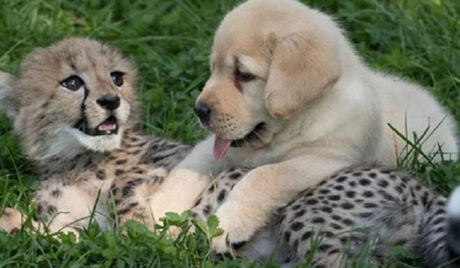 Щенок и гепард