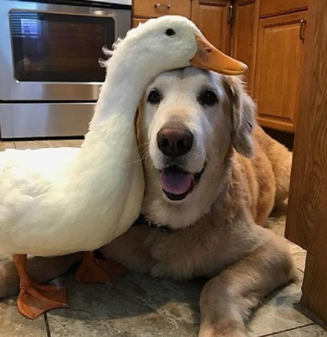 Гусь и пес